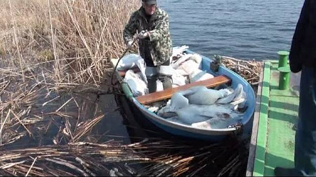 В Болгарии - падёж пеликанов