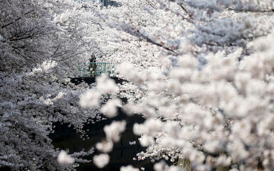 Les cerisiers en fleurs au Japon