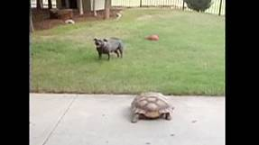 Tortoise and dog playing chase become internet sensations