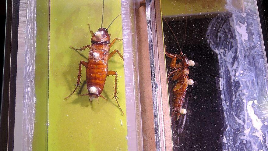 Image: Roach