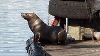 California'da binlerce deniz aslanı kurtarıldı