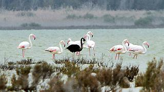 Black flamingo, possibly unique, spotted in Cyprus