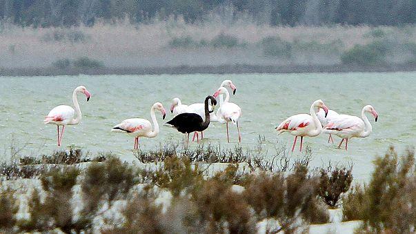 Ender görülen siyah flamingo Kıbrıs'ta ortaya çıktı