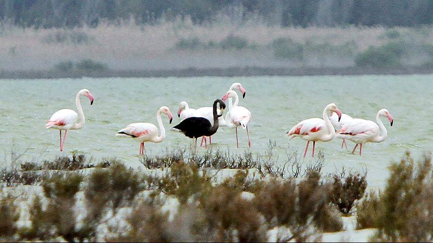 Cipro: avvistato il raro fenicottero nero