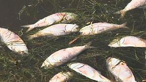 Meia tonelada de peixe morto recolhida da lagoa Rodrigo de Freitas