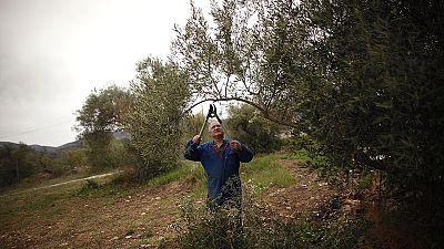 La bactérie ''tueuse d'oliviers'' identifiée en France