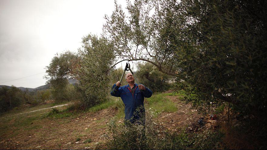 Под Парижем обнаружена бактерия, уничтожившая тысячи оливковых деревьев в Италии