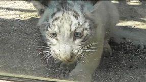 Tigre branco sofre acidente