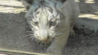 Παρά τρίχα γλίτωσε από πνιγμό λευκό τιγράκι στην Ιαπωνία