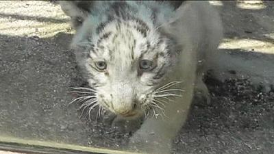 Cat-astrophe averted for purr-fect white tiger – nocomment
