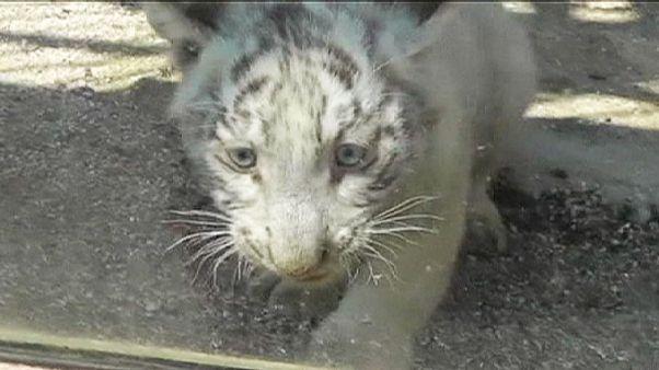 Rettungsaktion für kleine Großkatze aus der Traufe