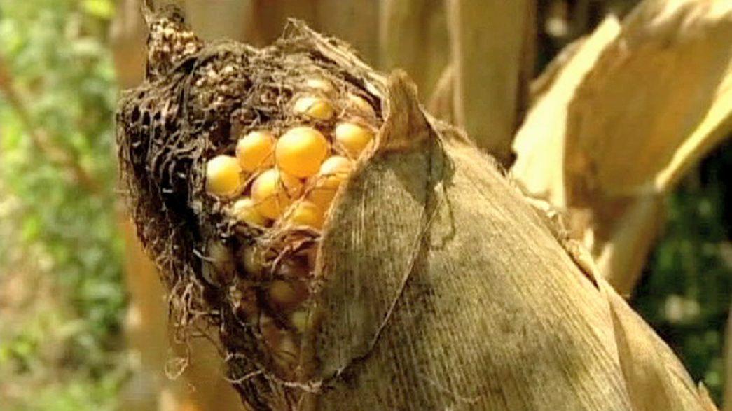 Mitgliedsstaaten entscheiden künftig über Genpflanzen