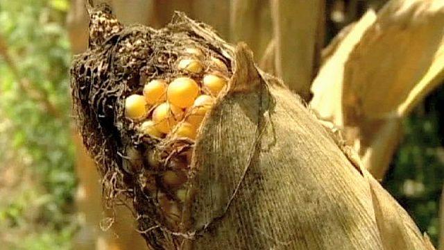 المفوضية الاوروبية بصدد تغيير قوانين المواد الزراعية المعدلة جينيا