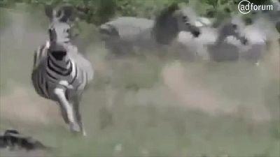 Zebra attacks lions! (German Stuttering Association)