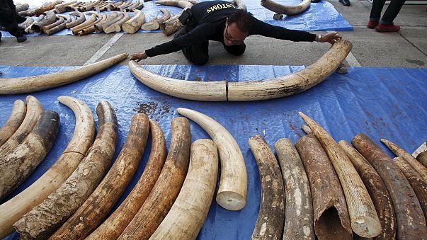 Egy hét alatt 7 tonnányi elefántcsontot foglalt le a thaiföldi vámhatóság