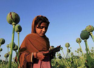 Afghan poppy field