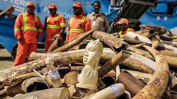 Dubai: distrutte 10 tonnellate di avorio confiscato