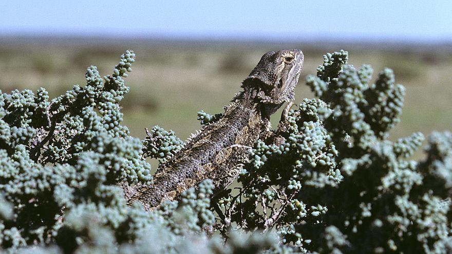 Image: Central bearded dragon, Pogona vitticeps