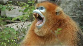 Újszülött majmok Kínában