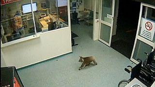 Koala bummelt durch Krankenhaus