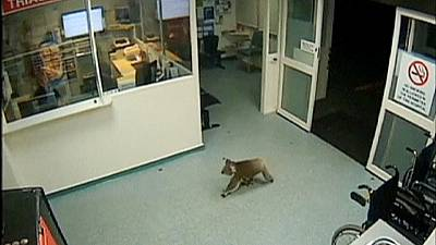 Koala pays late night visit to Australian hospital – nocomment