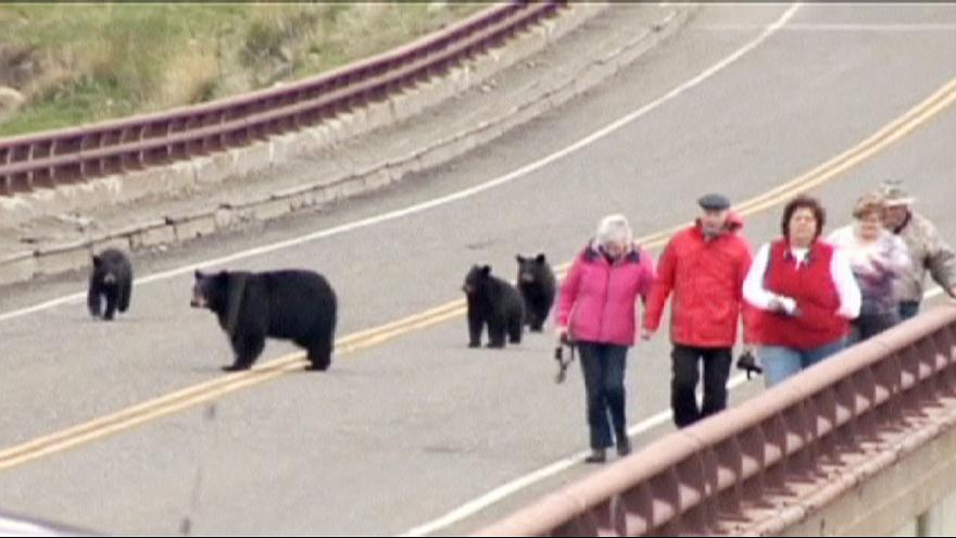 Tourists chased by black bears