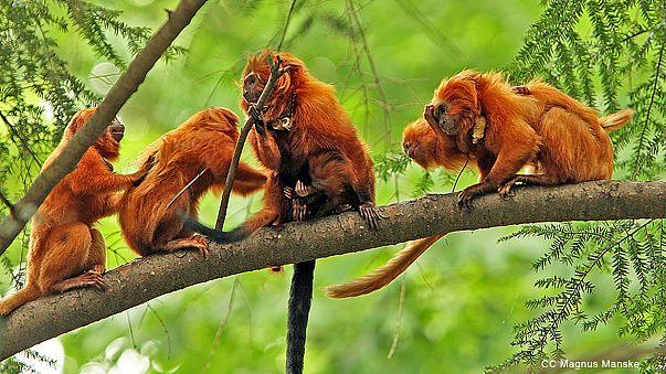 Fransa hayvanat bahçesinden çalınan ender maymunları arıyor