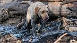 A search and rescue dog is guided through properties after a mudslide in Montecito, California, on Jan. 12. Rivers of mud sweep through wildfire burn areas in California https://www.nbcnews.com/slideshow/heavy-rains-produce-rivers-mud-california-n836201