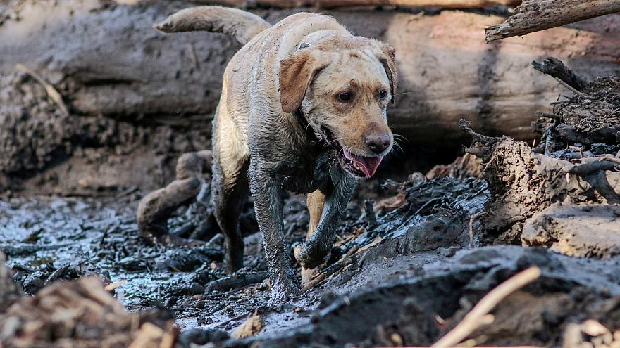 Image: A search and rescue dog is guided through properties after a mudslid