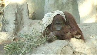La justicia argentina decide sobre el orangután triste