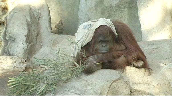 Arjantin'de orangutan Sandra için duruşma
