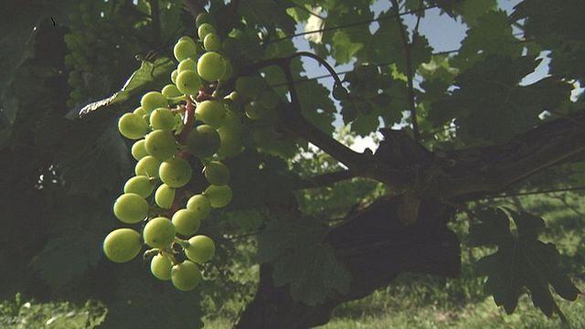 Виноградную косточку в теплую землю зарою