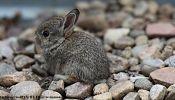 Bunny beaten to death live on Danish radio