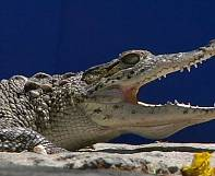 Castro's Cold War crocs
