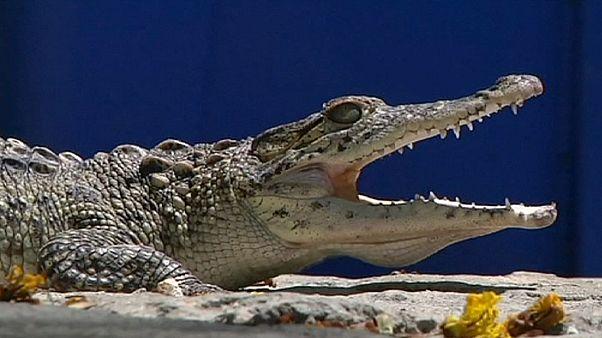 Les bébés des crocodiles de Fidel Castro sont désormais cubains