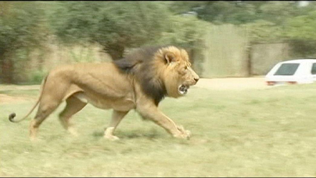 Südafrika: Touristin von Löwin getötet
