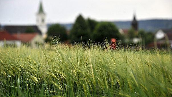 Jó lesz a gabonatermés - esnek az élelmiszeripari árak