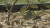 Do you know: can crops grow without water?