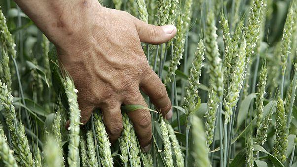 Россия: засуха угрожает урожаю зерна