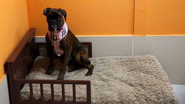 Vida de cão no Dubai