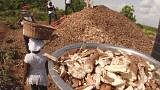 Waste not, want not: Ghana's mushrooming bio-waste initiative