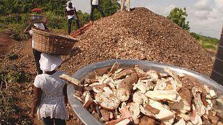 Gana'da bitki atıklarından yeni ürün yetiştiriliyor