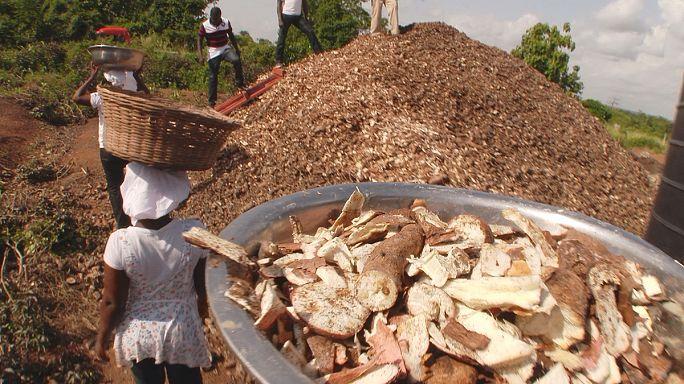 Гана: выращивание грибов на пищевых отходах