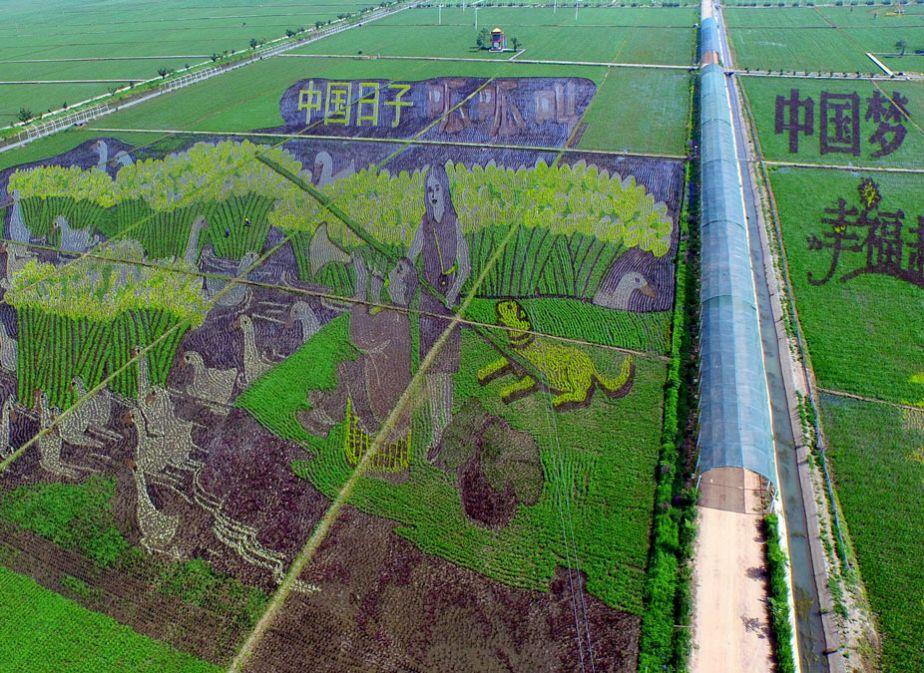 Le riz, oeuvre d'art dans les champs chinois