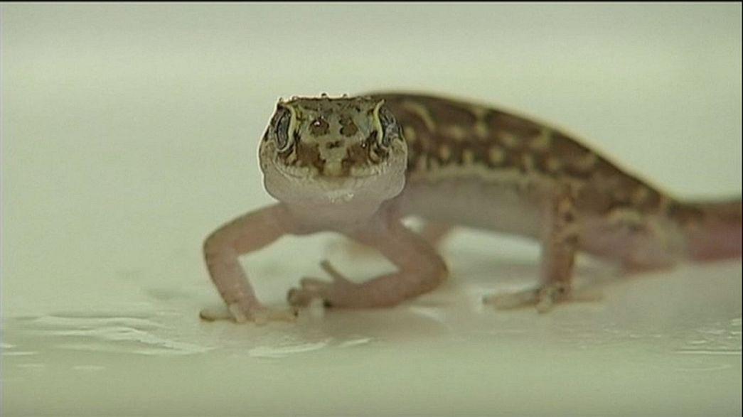 Austrália: Biólogos descobrem lagartixa que repele a água