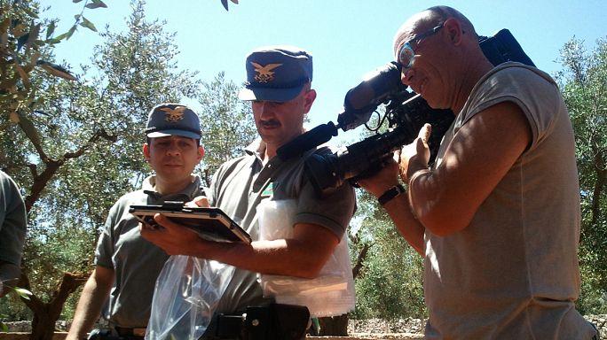 Olaszország: kemény harc az olajfákat tömegesen pusztító Xylella ellen