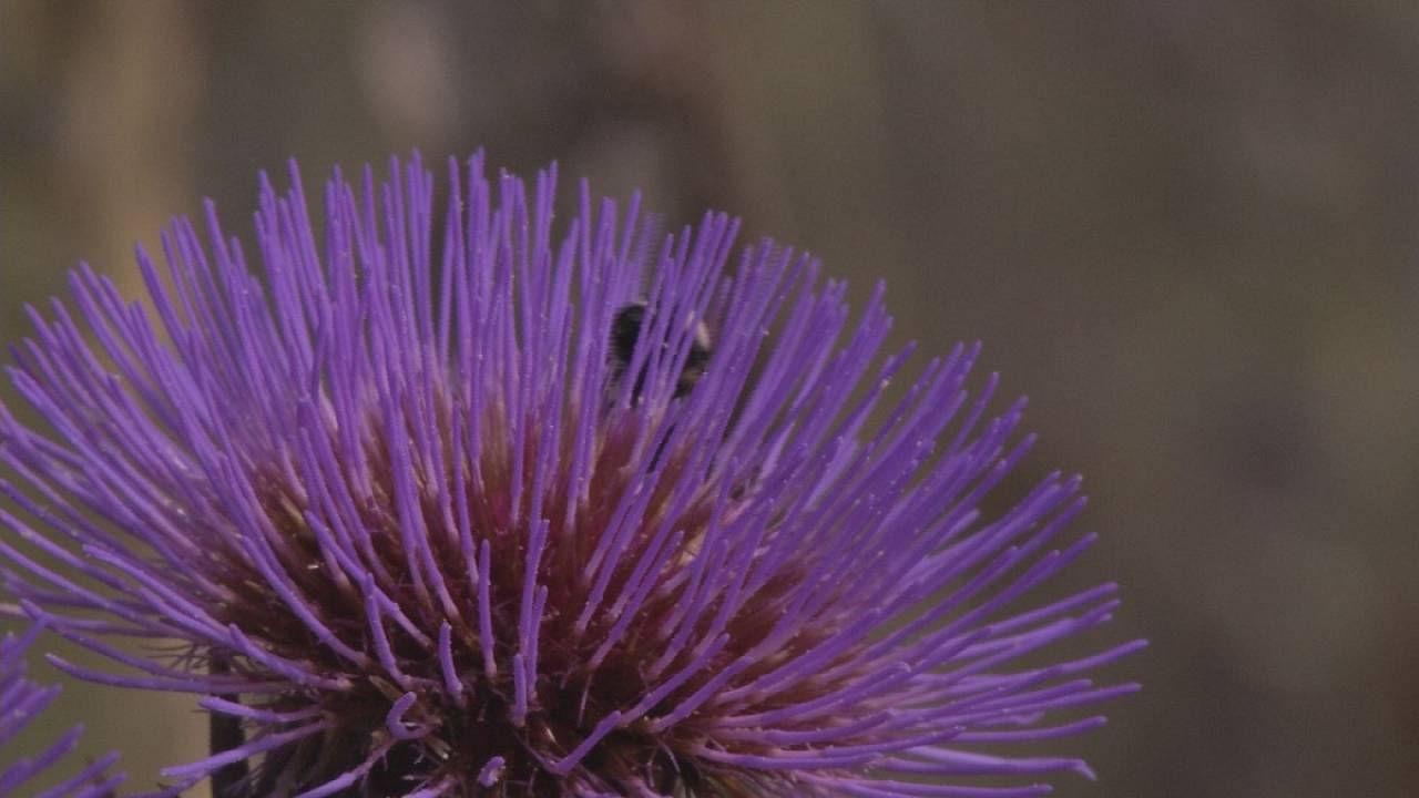 Sardinian thistles play key role in bioplastics