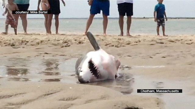 إنقاذ قرش أبيض على شاطئ كيب كود الأمريكي