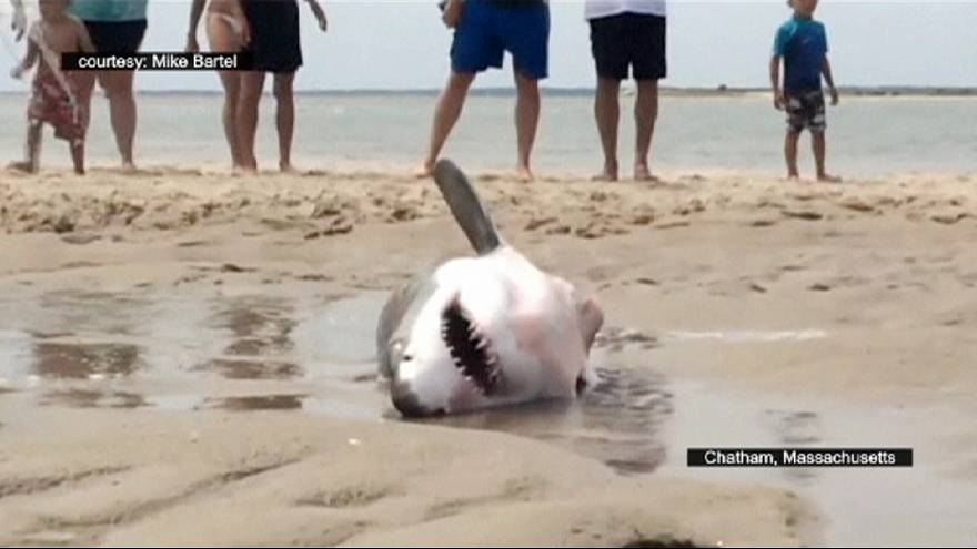 Stranded white shark is rescued by activists
