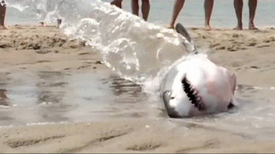 Beachgoers save stranded great white shark